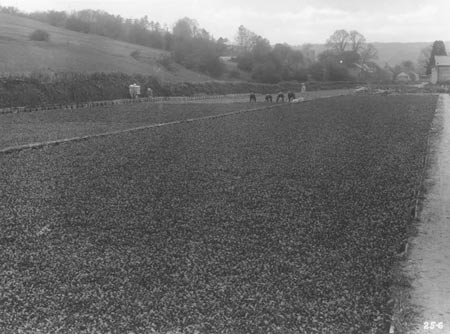 Watercress Harvesting - Old Monochrome Photo